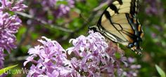 Butterfly on lilac