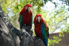 """Colorful Macaws"" -   16 March 2009, 13:43 hrs. EST -   Busch Gardens,   Tampa, Florida, United States - Global Coordinates: 28.033692⁰, -82.423727⁰.  © 2009 Arthur M. Brady, Jr."