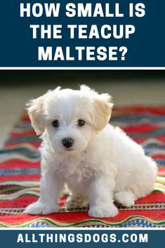 This dog is just a smaller version of the already tiny Maltese and isn't recognized independently by the AKC. And becau. Teacup Maltese, Maltese Dogs, Chihuahua, Teacup Dog Breeds, Miniature Dog Breeds, Poodle Mix Puppies, Cute Dogs Breeds, Free Dogs, Mixed Breed