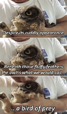 If silence were loudness, owls would be the loudest flying animals…