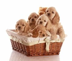 #CockerSpaniel basket full of love...  More pinable #dogs and #puppies can be found by clicking on this pic
