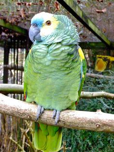 Blue-Fronted Amazon Parrot.
