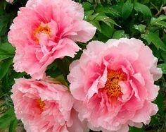 Pink peony. Good smell.