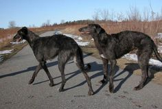 I definitely want a pair of these to greet people at the front door!!   Scottish Deerhound