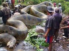 World's biggest snake Anaconda found in South America. It has killed 257 human beings and 2325 animals. It is 134 feet long and 2067 kgs. Africa's Royal British commandos took 37 days to get it killed.World's biggest snake Anaconda Sure. And the fact Anaconda Gigante, Giant Anaconda, Anaconda Snake, Anaconda Attack, Green Anaconda, Big Animals, Animals And Pets, Funny Animals, Scary Animals