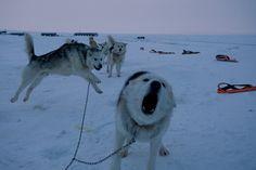従順だが野性的な一面もある犬たちは、ハーネスをつけてパトロールに出発するのが待ちきれない様子だ。デンマーク軍は過去60年にわたって、グリーンランドの荒野に耐える犬を繁殖・育成してきた。