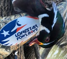 Wood Duck Drake Duck Hunting Texas Style with the Lone Star Fowl Boys -Waterfowl Guide Service. Only 1 Hour South of Dallas, Texas www.lonestarfowlboys.com