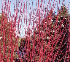 Simply one of the best Red Osier Dogwoods to come along. More twiggy than others of its kind, the intensely red stems of Arctic Fire™ add great color to an otherwise dull winter landscape.