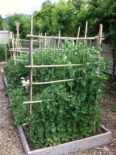 Gardeners prefer to build a structure that supports the pea plant's vines. This structure is known as a pea trellis. A pea trellis can be made of a variety of materials. Veg Garden, Vegetable Garden Design, Edible Garden, Vegetable Gardening, Garden Bugs, Summer Garden, Pea Trellis, Garden Trellis, Wire Trellis