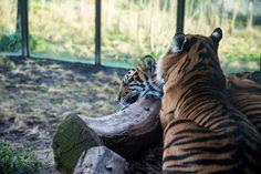 Visiter #Londres avec le #LondonPass : #tigre au #LondonZoo