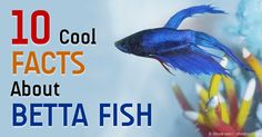 Betta fish are not simply decorative, they are living creatures with incredible features. http://healthypets.mercola.com/sites/healthypets/archive/2015/03/13/betta-fish-facts.aspx