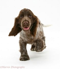 17551-Chocolate-Cocker-Spaniel-pup-white-background.jpg (958×1104)