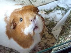The Guinea Pig Daily: October 2011