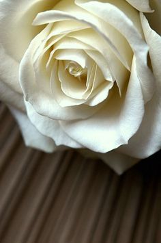 """White rose meaning - Purity, Innocence, Silence, Secrecy, Reverence, Humility, Youthfulness,  """"I am worthy of you"""", Heavenly"""