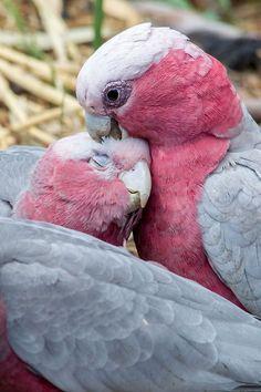 Preening pair of Galah Cockatoos - from Wonderful Wings To Fly