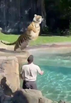 Animal Jokes, Funny Animal Memes, Funny Animal Pictures, Cute Little Animals, Cute Funny Animals, Cute Cats, Bengal Tiger, Tiger Tiger, Cute Animal Videos