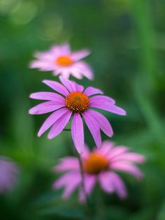 Coneflower 3 by RussellHartPhoto on Etsy