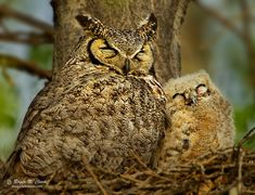 A baby owl snuggles up to its mother shortly after sunrise in Colorado.