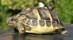 The popularity of tortoises as pets has increased over time. This is because they are silent, they do not shed any far and they are cute. They are most cute Baby Tortoise, Sulcata Tortoise, Tortoise Turtle, Amphibians, Reptiles, Kawaii Turtle, Quokka, Turtle Love, Tortoises