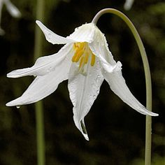 Spring Flowers - Fawn Lilies
