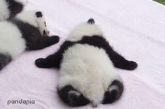 Genetic is very magical. ( pic 1 is Mum Ke Lin, pic 2 and 3 is Ke Da pandas, cute pandas Cutest Animals On Earth, Like Animals, Happy Animals, Animals And Pets, Funny Animals, Panda Love, Cute Panda, Panda Panda, Panda Bears