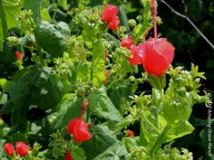 Turk's Cap is a beauty in the garden. weedinwaterinwatchin.com