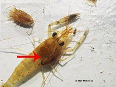cirolanídeo (Crustacea - Ordem Isopoda) parasitando camarão (Crustacea - Ordem Decapoda)