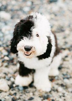 sheepadoodle puppy