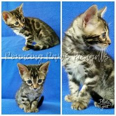 Bengal Kittens For Sale, Kitten For Sale, Cats And Kittens, Silver Bengal, Cattery, Adoption, Pets, Animals, Foster Care Adoption