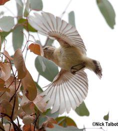 Bird in flight in Canberra.