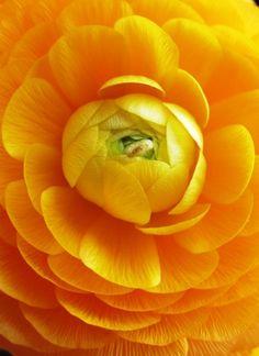 Buttercup flower @}-,-;--