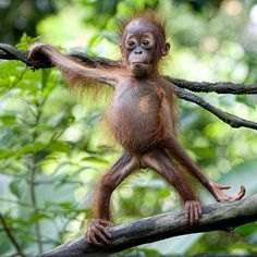 Baby orangutan posing in a tree—so homely, it's cute! Cute Funny Animals, Funny Animal Pictures, Cute Baby Animals, Animals And Pets, Monkey Pictures, Cute Baby Monkey, Baby Orangutan, Tier Fotos, Animal Photography
