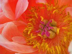 Flickriver: Photoset 'iris and peony' by blue-poppy