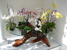 Pour moi la plus belle table d'orchidées phaleanopsis.  Réjane a inventé la culture en pot de verre depuis 2007 et mes orchidées refleurissent année après année avec son procédé.  Shanon Jeurissen