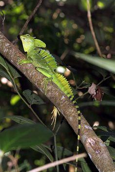 Green basilisk (Basiliscus plumifrons) |@@ Les Reptiles, Cute Reptiles, Reptiles And Amphibians, Save Our Earth, Creature Design, Snakes, Beautiful Creatures, Turtle, Wildlife