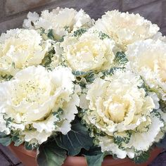 The colder it gets the better they look -  ornamental cabbage - Looks great in containers but also works well in flower beds, borders and autumn / winter planting schemes.  The Northern Lights White ornamental cabbage produces big bold white brassicas.
