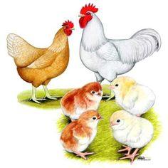 Gold Sex Link Chicks for sale, Buy Gold Sex Links Chickens, Gold Sex Link Chicken Image Picture