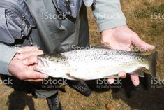 Fly Fisherman holds out his Catch royalty-free stock photo Kiwiana, Image Now, Hold On, Royalty Free Stock Photos, Culture, Lifestyle, Naruto Sad