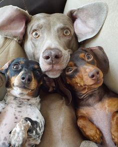 Harlow, Indiana and Sage Dachshund Puppies, Dachshund Love, Cute Puppies, Pet Dogs, Dogs And Puppies, Dog Cat, Dachshunds, Doggies, Daschund