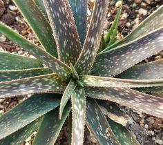 Aloe perrieri