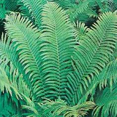 Favorite of fern lovers! One of the tallest ferns available, Ostrich Ferns grow from tall. Feathery fronds make this a favorite of fern lovers. Very low maintenance plant performs best in partial to full shade. Ferns Garden, Lawn And Garden, White Feather Hosta, Ferns For Sale, Part Shade Plants, Ostrich Fern, Hosta Plants, Front Yard Design, Plant Lighting