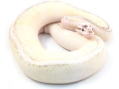 Pewter Vanilla Super Stripe Ball Python morph