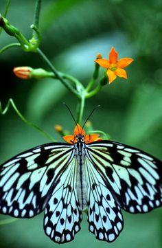 #TurquoiseButterfly #OrangeFlower