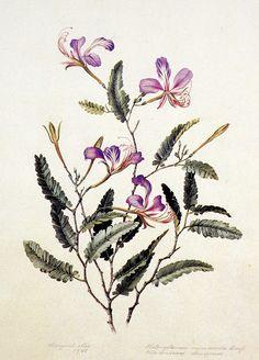 Olímpia Reis Resque: Minha viagem pela floresta amazônica Texto e ilustração de Margaret Mee (1909-1988) sobre as plantas que encontrou na floresta amazônica. No Blog!
