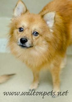 Pomeranian & American Eskimo Dog Mix • Adult • Male • Small
