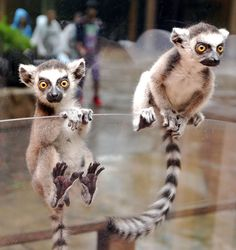Ring tailed Lemur Babies!! If I could have an exotic pet, this is what i would choose :)