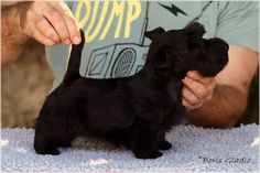 INVISIBLE TOUCH KENNEL Invisible Touch Black Pearl 8 weeks Photo by Boris Gladic