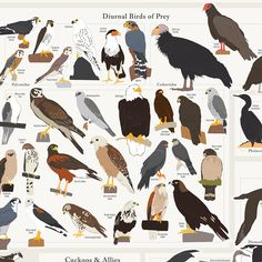 Birds, birds, birds! Pop Chart Lab has captured the stunningly beautiful diversity of avian life in North America, a labor of love that took more than 400 hours