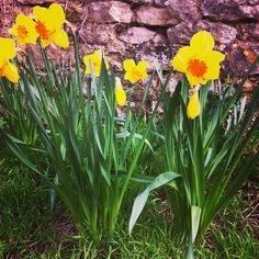 Daffodils Spring is here:D