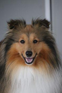 Collie, Blue Merle, Shetland Sheepdog, Sheltie, Beautiful Dogs, Pet Birds, Painted Rocks, Animals And Pets, Dog Cat